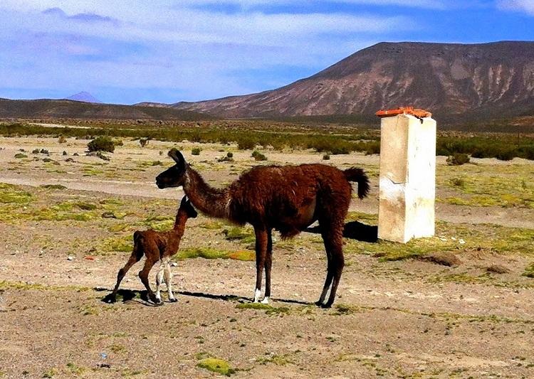 Mother and baby Llama Uyuni Bolivia