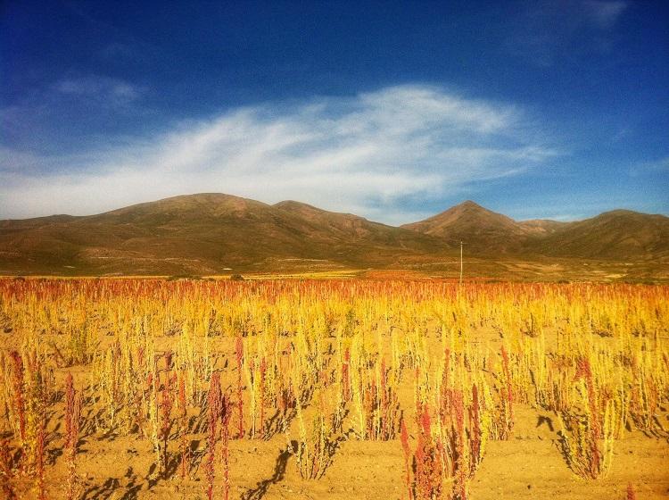 Quinoa crops Uyuni Bolivia