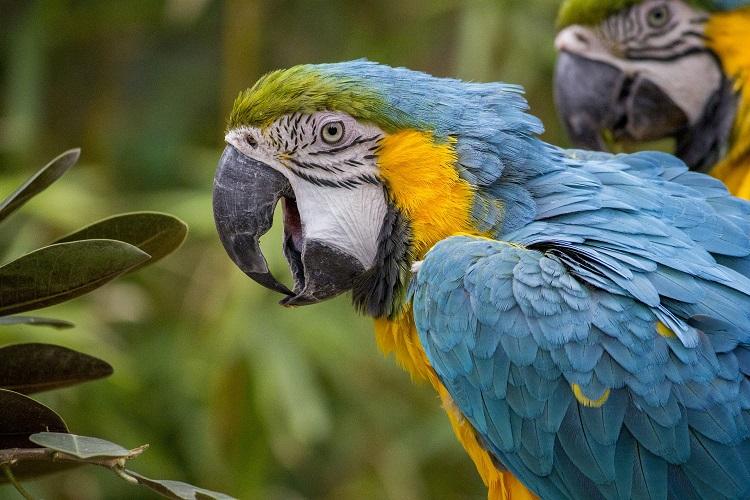 blue macaw bolivia