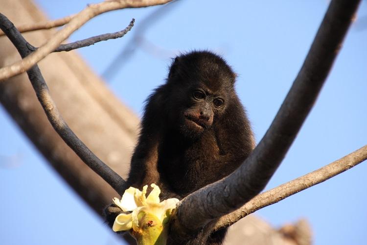 howler monkey bolivia