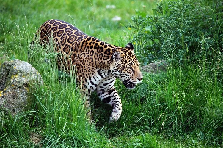 jaguar bolivia
