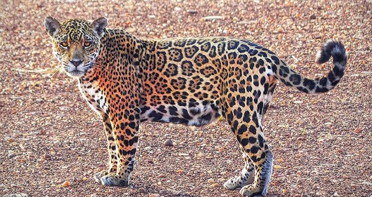 Bolivia's Wildest Jaguar And Big Mammal Tour