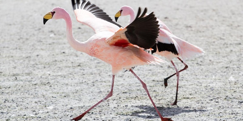 james flamingo