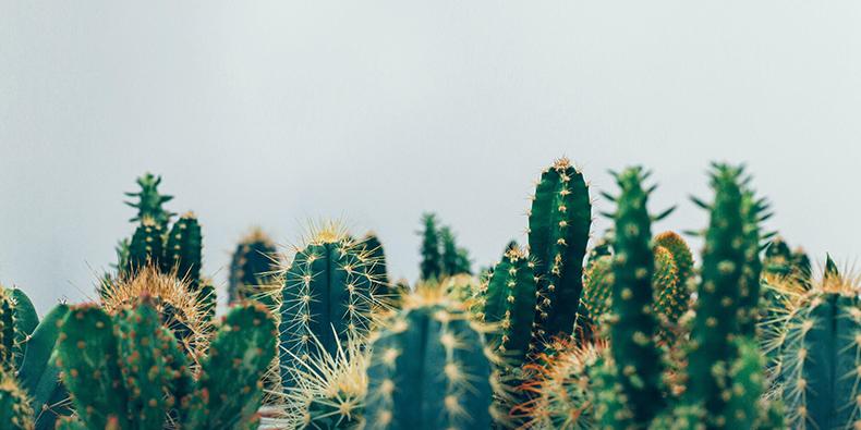 la paz cactus